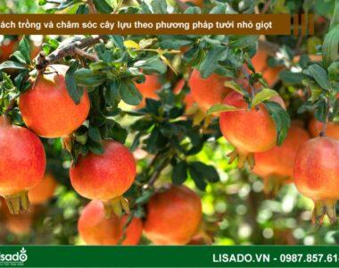 Cách trồng và chăm sóc cây lựu theo phương pháp tưới nhỏ giọt