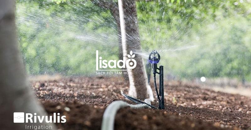 Cách trồng và chăm sóc vải thiều theo phương pháp tưới phun mưa