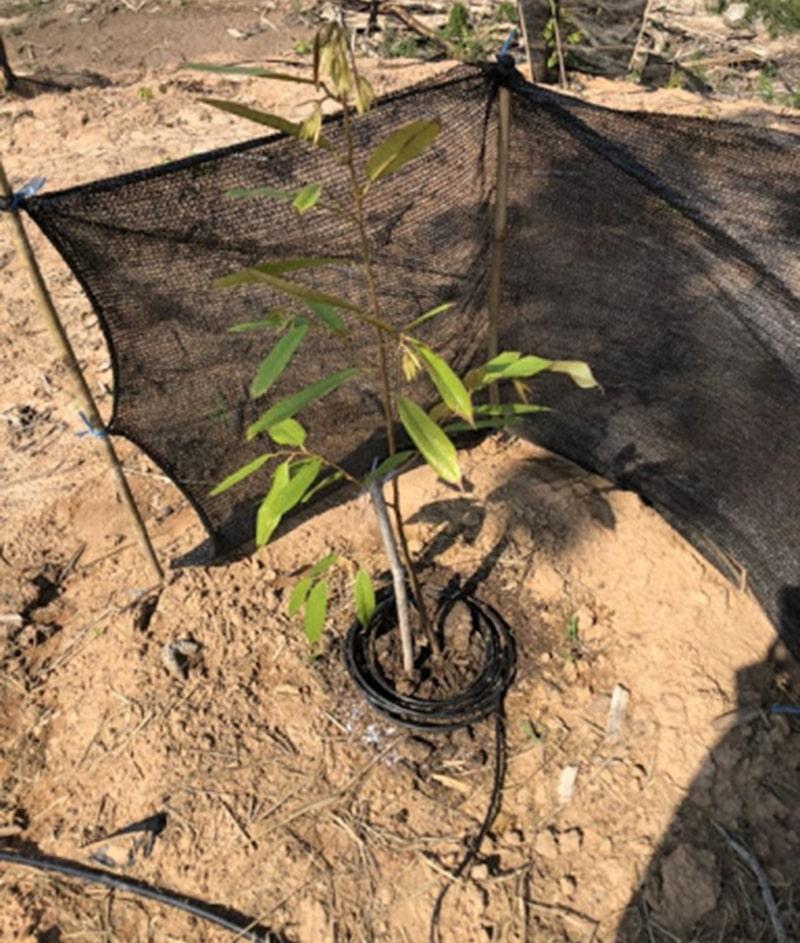 Cách trồng và chăm sóc sầu riêng theo phương pháp tưới nhỏ giọt