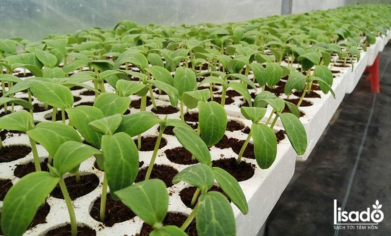 Tầm 2-3 ngày sau hạt sẽ nảy mầm (mọc lên 2 lá mầm)