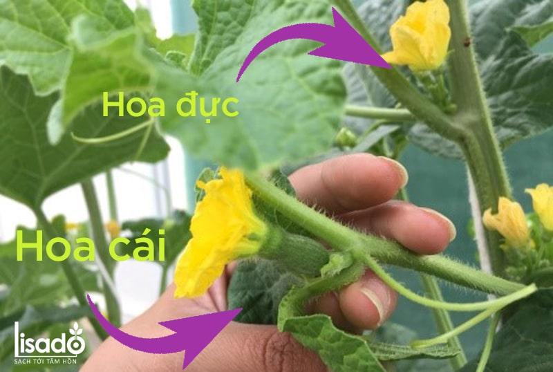 Nhận biết hoa đực và hoa cái của dưa lưới