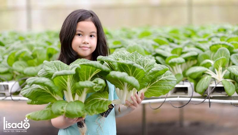 Bảo quản và thu hoạch rau thủy canh