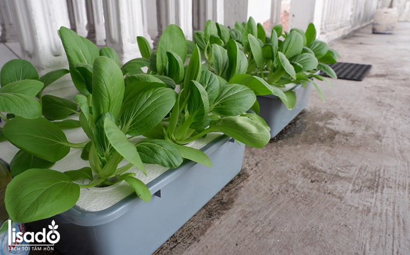 Với mô hình trồng rau thủy canh tĩnh